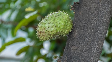 prickly spiny fruit tree plant collections phipps conservatory and botanical