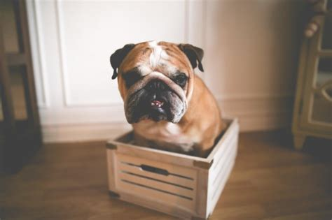 why do pugs flat faces do you a brachycephalic flat faced dogs bulldogs pugs bostons and more