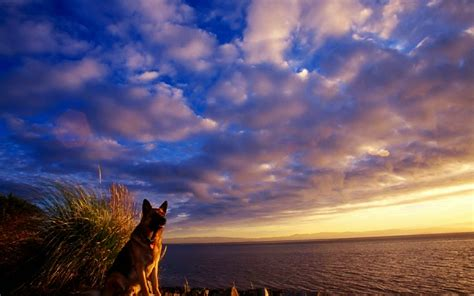 wallpapers for 40 german shepherd wallpapers hd dogs wallpapers hd