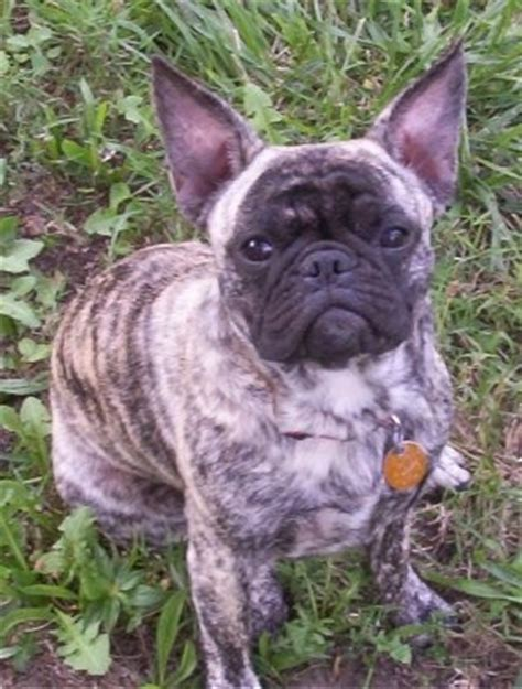 frenchie pug mix lol this bulldog pug mix