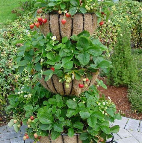 Strawberry Garden Ideas Strawberry Varieties For Container Gardening Ideas Home Inspirations