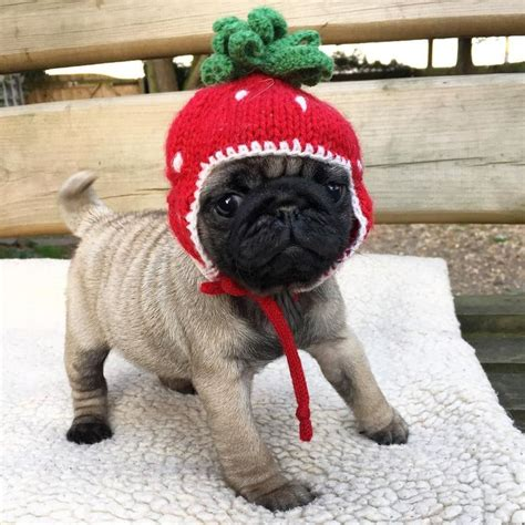 baby pugs for sale in ohio the 25 best baby pugs ideas on baby pugs baby puppies and pug puppies