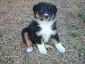 aussie color pics for gt australian shepherd tri color
