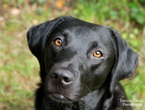 black dog black dogs google search sina pinterest