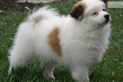 american eskimo pomeranian mix for sale american eskimo puppies for sale breeds picture