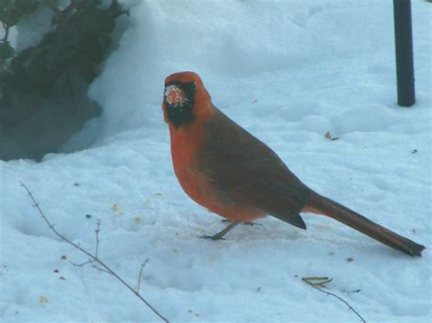 the cardinal state bird of illinois bright and pretty