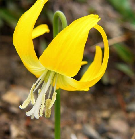 lilies or lillies are glacier lilies and bumble bees out of sync honey