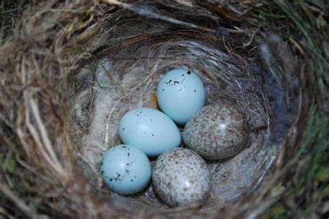House Finch Nest And Eggs