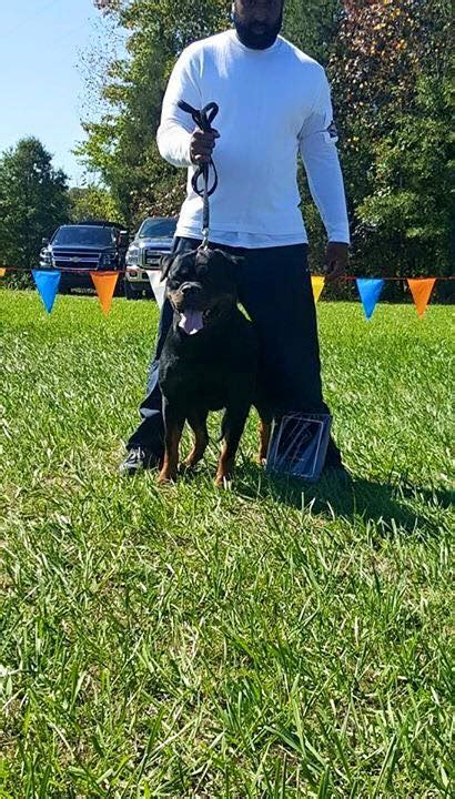 purebred german rottweilers for sale carrabba haus rottweilers german rottweiler
