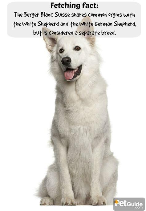 berger blanc suisse puppies berger blanc suisse