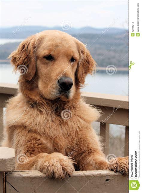 golden retriever similar dogs golden retriever portrait stock image at featurepicscom breeds picture