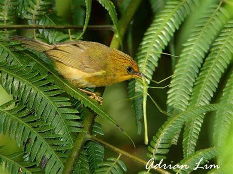 golden babbler catching stick insect bird ecology study