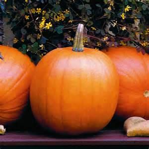 Planting Raised Garden Beds - jack o lantern pumpkin bonnie plants