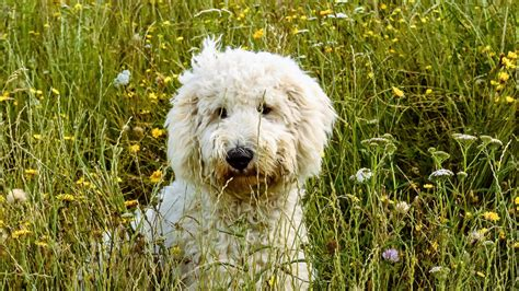 goldendoodle puppy wallpaper goldendoodle hd wallpapers
