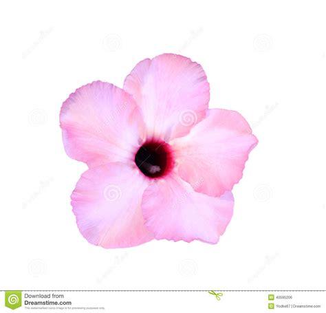 imagenes de rosas solas solas flores de la azalea foto de archivo imagen 40595206
