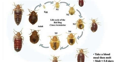 bed bug extermination process pin by pest control on bed bugs pinterest life cycles