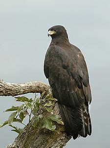 Aquila Hitam elang hitam bahasa indonesia ensiklopedia bebas