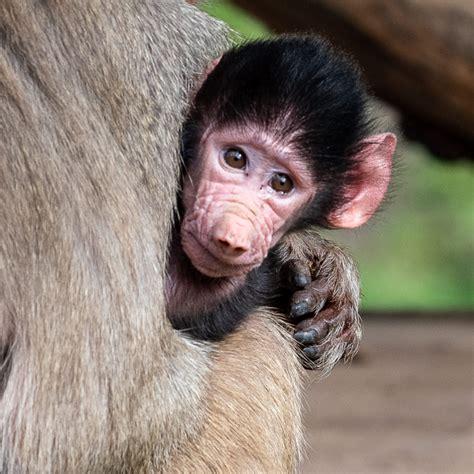 baby baboon joins  big family zooborns