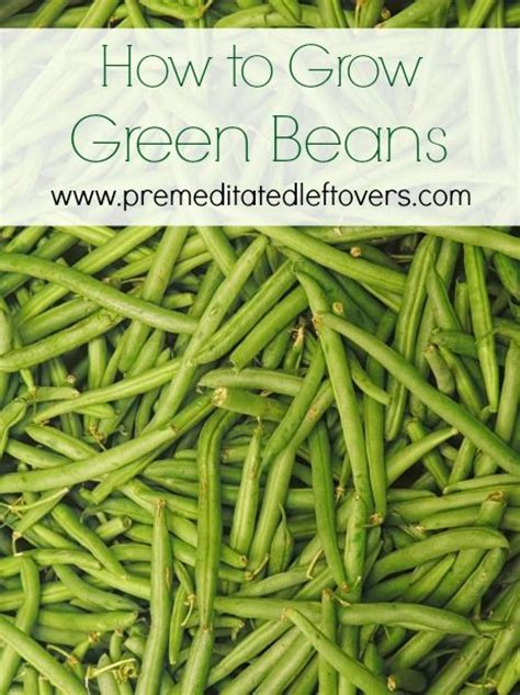 how to grow green beans beans green beans and to grow