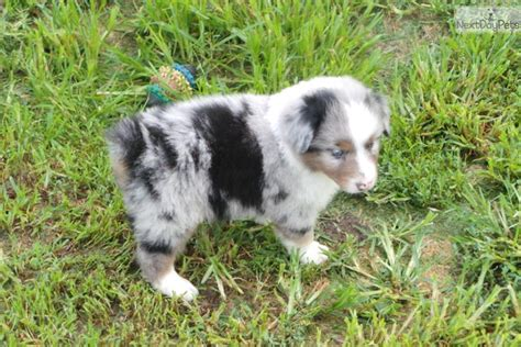 australian shepherd puppies for sale in oklahoma australian shepherd puppy for sale in oklahoma breeds picture