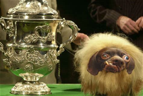 inbred puppies crufts chooses 2014 s most inbred the evening har 246 ld