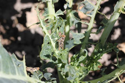 broccoli plant diseases salinas valley agriculture agriculture and