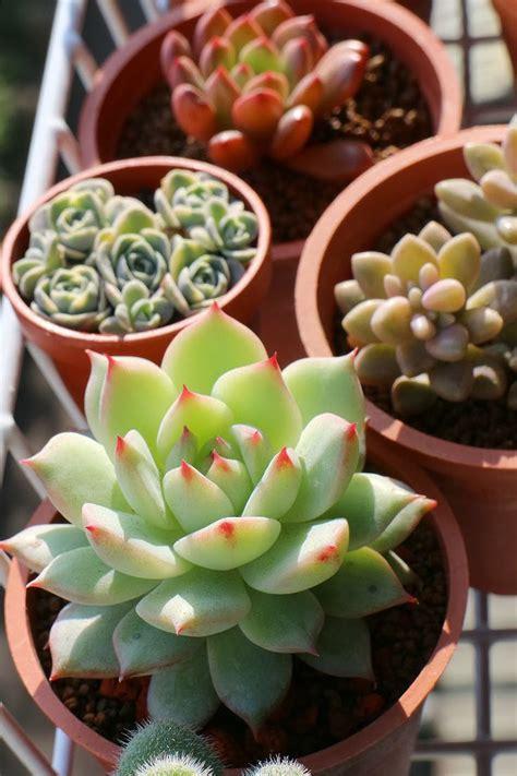 cute succulent pots cute succulent pot plants cactus succulent pinterest