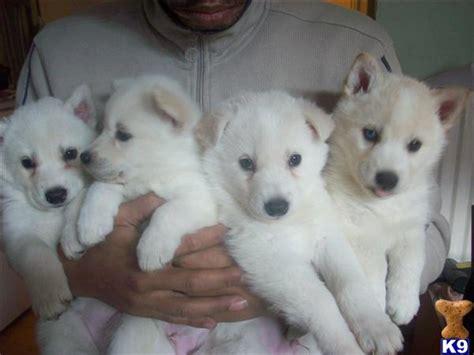white siberian husky puppies white siberian husky puppies 2030