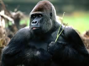 gorilla western gorilla