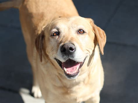 pug rescue scotia hilarious 8 labrador pups that make epic memes this is so
