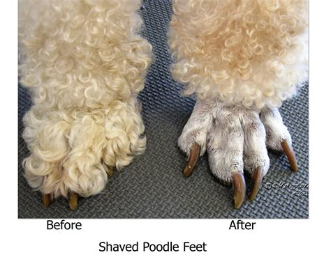 what are yhe different kinds of poodle cuts poodle haircut styles feet funny standard haircuts shaved