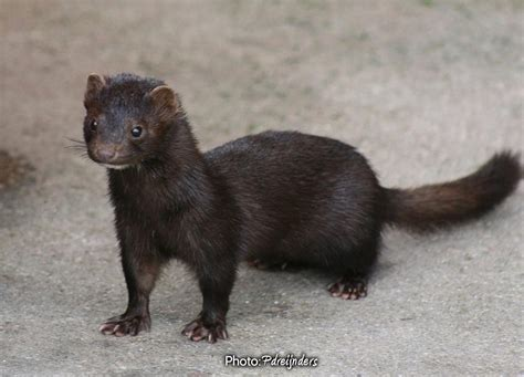 hairby minklittle 1000 images about weasels on pinterest