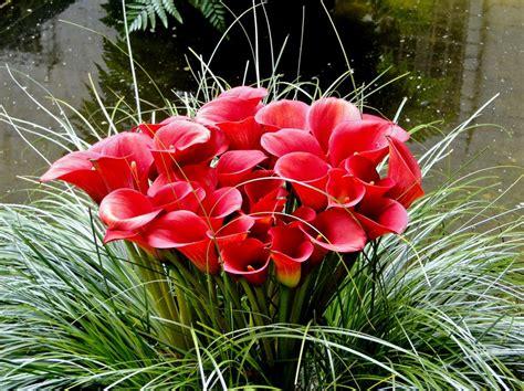 imagenes de flores alcatraces imagenes de alcatraces flores marcos gratis para fotos