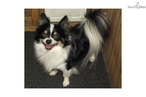 chion puppies for sale papillon puppy for sale near houston a0e0063b ce61
