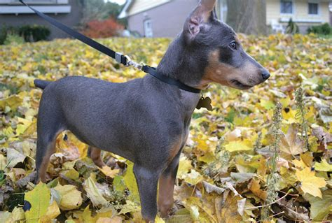 german pinscher puppies for sale german pinscher puppies for sale breeds picture