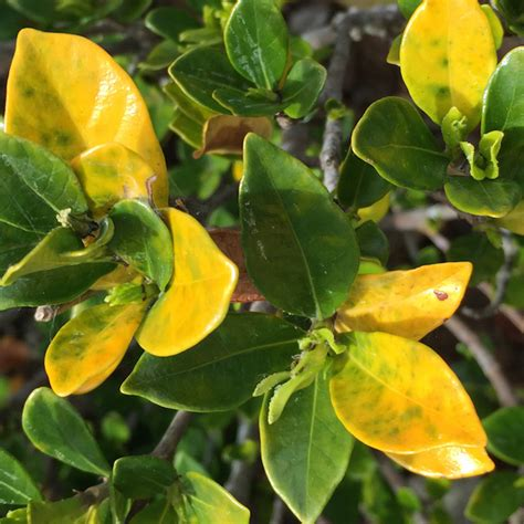 plant  yellow leaves gardendrum