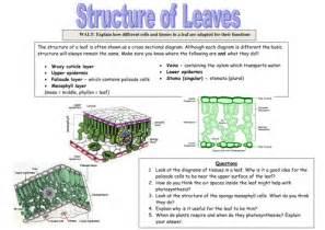 pictures leaf structure worksheet getadating