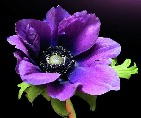 printable real flowers purple anemone flower canvas print canvas art by gitpix