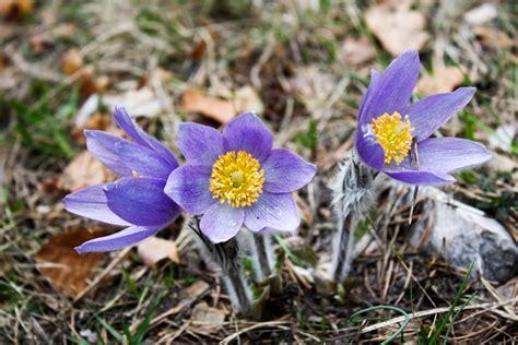 anemone fiore significato significato dei fiori pollicegreen