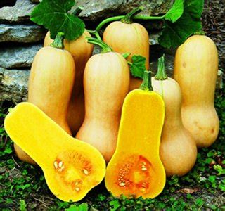 Biji Benih Labu Butternut Waltham Pumpkin jual beli benih labu butternut pumpkin baru jual beli