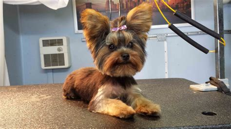 grooming styles for yorkies yorkie grooming styles wallpaper best in show grooming 4128x2322px 142635