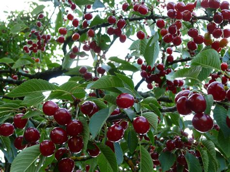 cherry trees fruit is just a bowl of cherries the grass is always gr 252 ner