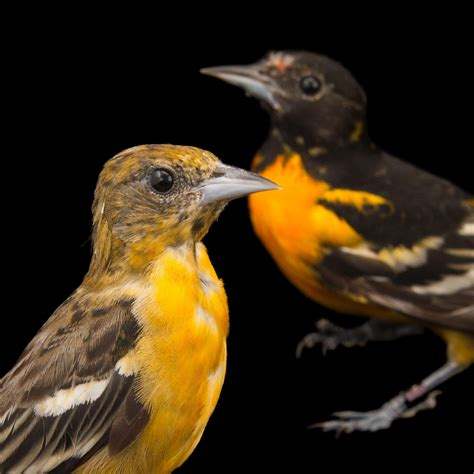 best 28 where do oriole birds live animal you