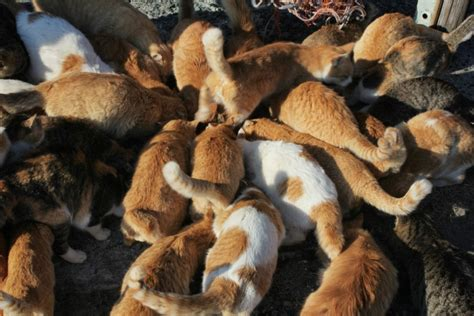 felines rule on ehime s cat island the japan times photo mt ishizuchi from aoshima source visiting