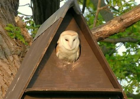 owl boxes for sale suffolk wildlife trust begins barn