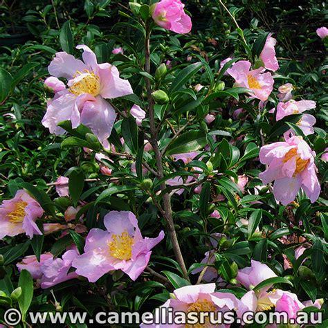 classique camellias r us