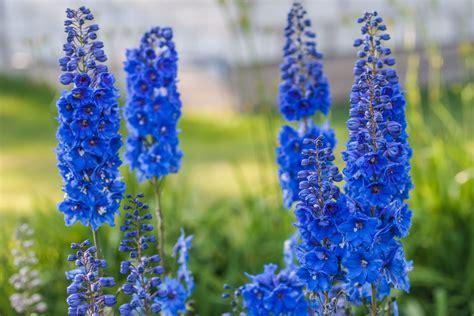 delphinium fiore delphinium la quot speronella quot dai bei fiori compatti