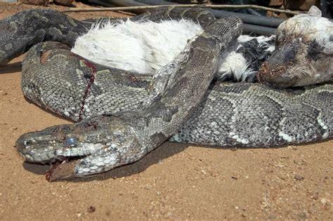 Angry python eats goat!   Daily Sun