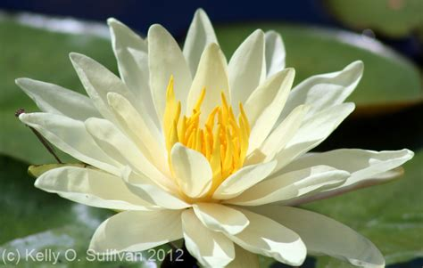 lilies or lillies water lily kellyosullivan
