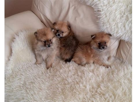 pomeranian breeders usa three pomeranian puppies for adoption animals bedford new york announcement 34508